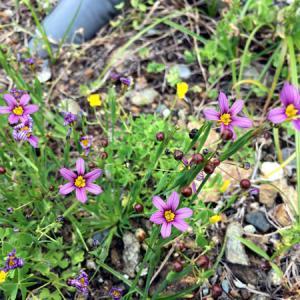 ゆっくり歩くと気づく、5月の庭先に咲く花