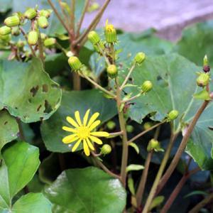 今週の料理、カマスの箱買いとツワブキの開花