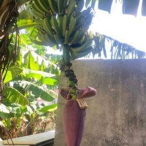 沖縄バナナの花