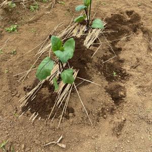 やっとナスの苗木を植えました。