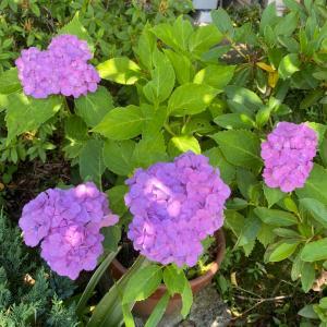 ずっと咲かなかった鉢植えのアジサイが咲きました