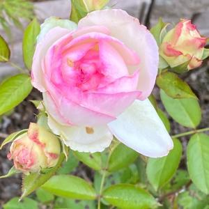 またバラが咲きました