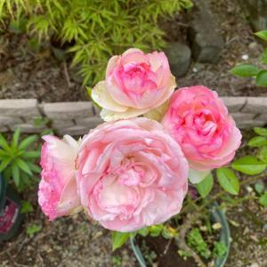 バラに囲まれる生活は憧れです