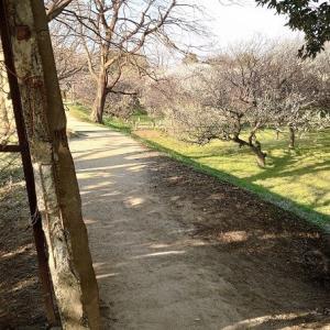 越谷市「梅林公園」 古木が