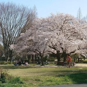 桜満開 しかし ・・・