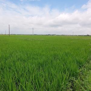 入梅の「稲」の風景