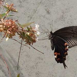 早朝ビラ配布 最近蝶が多い