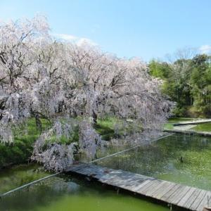 桜は何度見てもいいです。また来年までお別れです。