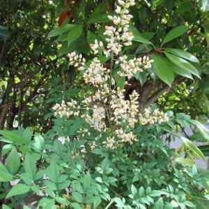 4か月ぶりのモーニング 南天の花