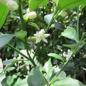 金柑の花が咲き始めました♪ カボチャの雌花の蕾は枯れてしまいました!