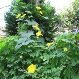 野菜の花は黄色が多い?