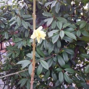 コロナが怖い 蝋梅の花
