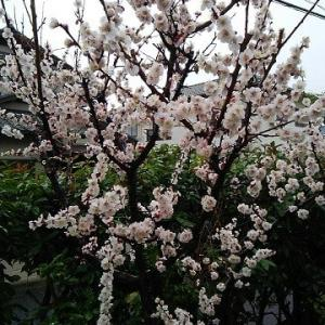 満開の梅の花 サンマルクカフェ