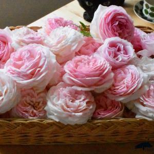 シンデレラ バラの花を摘みました