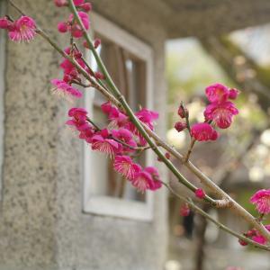 早咲きの梅 北野天満宮