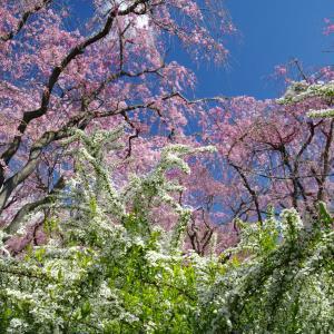 原谷苑の春