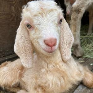 アンゴラ系のオス子ヤギ誕生しました