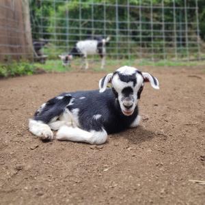 牛柄のとっても小さなトカラヤギの女の子産まれました♥