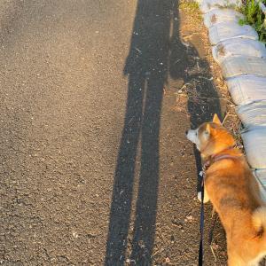 1日7キロ以上歩いて疲れた脚を、ムギちゃんとの散歩でリセット