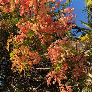 シャワーツリーが美しい季節とお庭のメルヘンな物。
