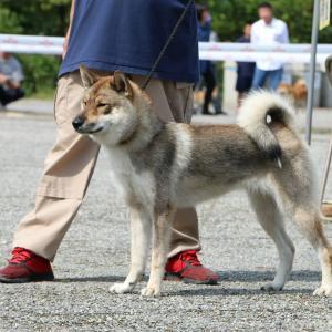 日本犬保存会 2019年秋季展覧会 三多摩展 vol.2 四国犬編