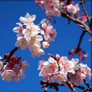 薄寒桜と緋寒桜