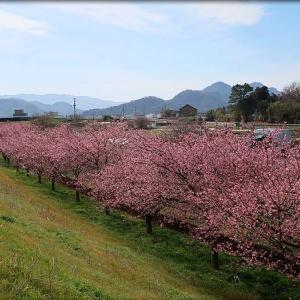かんなみの桜