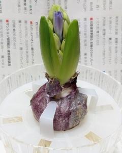 ヒヤシンスの水栽培 ④