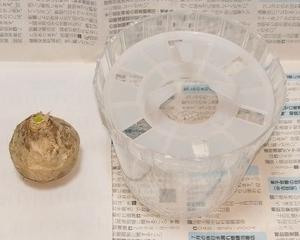 ヒヤシンスの水栽培 ①