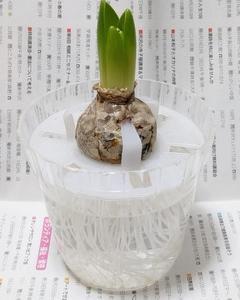 ヒヤシンスの水栽培 ③