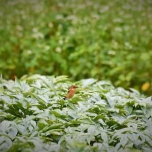 ノビタキ(野鶲) ③ コンニャク畑で・・・