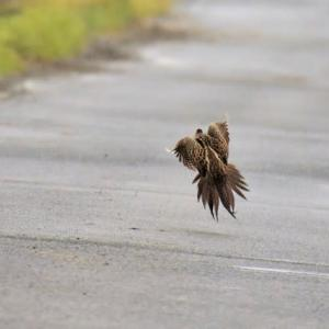 キジ(雉) ⑤ 路上で楽しそうに踊ってるような光景・・・