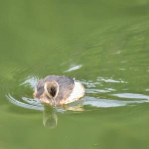 カイツブリ ('20-1) 水面に映った もう1羽のカイツブリ・・・