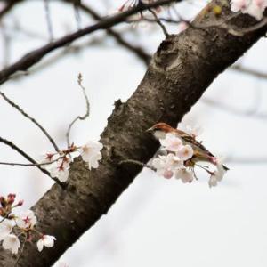 ニュウナイスズメ ('20-1) 曇天( ;∀;)😭 お花見は青空に限りますね!!