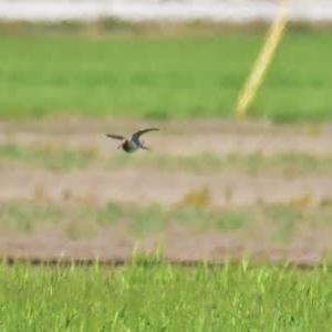 タシギ ('20-1) 麦畑で飛び交う・・・