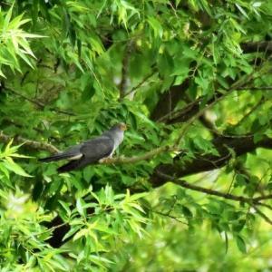 カッコウ ('20-1) 気持ちよく歌っている所に1羽のカワラヒワが・・・