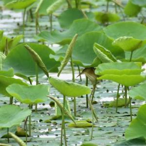 ヨシゴイ ('20-1) 蓮の葉陰より小魚を狙う・・・