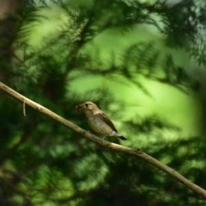 キビタキ ('20-4) 休みなく採餌する親鳥たち・・・ 子供たちが大きな口を開け待ってるのでしょうか