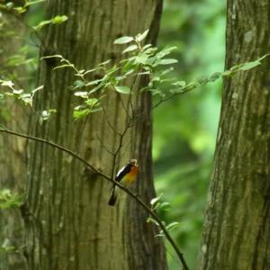 キビタキ ('20-5) 木々の緑に映えるオスと 遠くで見ていたまん丸目玉のメス・・・