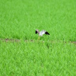 ケリ ('20-2) 田んぼの畦より 飛び立つ・・・