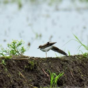 コチドリ ('20-4) 華麗なストレッチと羽ばたき・・・