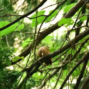 ガビチョウ ('20-2) 田舎の庭先の藪を飛び交ってた2羽のガビチョウ・・・