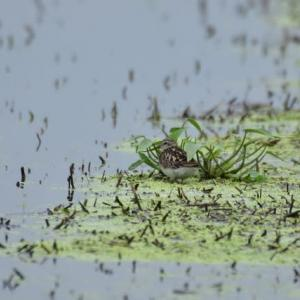 ヒバリシギ ('20-1) 水草に身を寄せ 暑さをしのぐヒバリシギ・・・