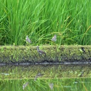 タカブシギ ('20-1) 畔で寛いだり みず田んぼへ入ったり みず田の状況を確認している様な・・・