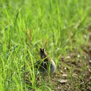 タシギ ('20-6) 暑さに耐えかね稲田へ・・・