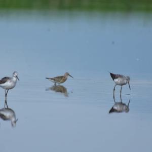 サルハマシギ ('20-1) 日本全国で数少ない旅鳥に出会った喜び・・・