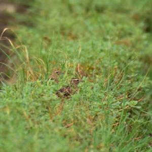 タヒバリ ('20-2) 水枯れした田んぼの畦に・・・
