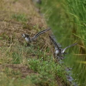 イソシギ ('20-3) 地味でも羽ばたくと周りが明るくなる様な・・・