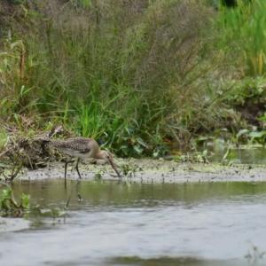オグロシギ ('20-2) 採餌光景・・・