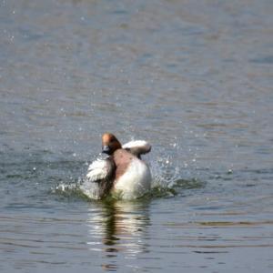 ヒドリガモ ('20-5) 激しく水しぶきを上げ ダンスに興じる・・・
